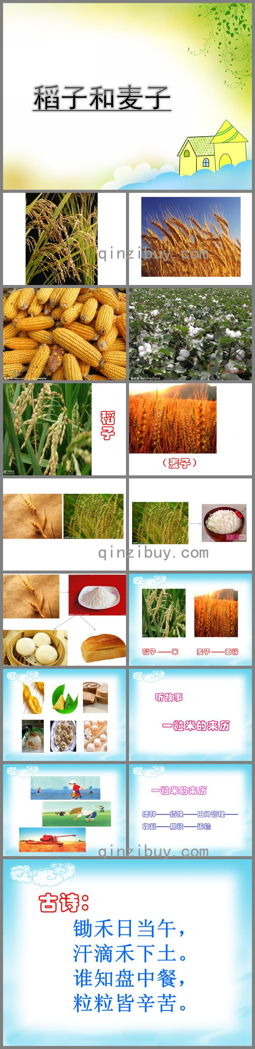 中班稻子和麦子PPT课件