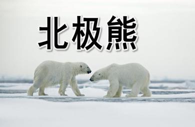 幼儿园北极熊PPT课件