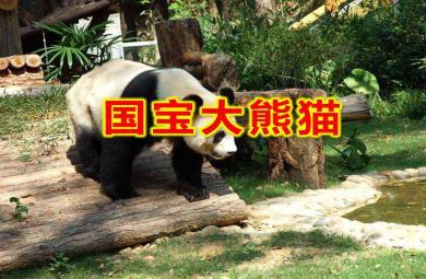 大班科学活动国宝大熊猫PPT课件教案