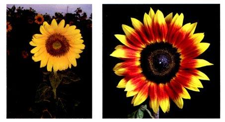 幼儿园中班画画教案设计:向着太阳的花